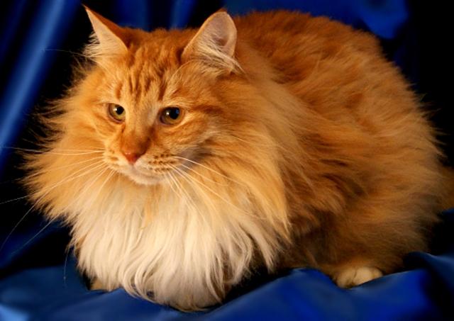 рыжего пушистого кота фото